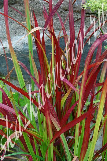 Jelitto Perennial Seed  Ornamental Grasses  Page 3